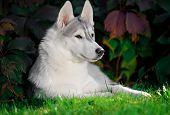 image of husky  - majestic portrait of grey black purebread husky dog lying on green grass - JPG