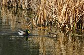 picture of cattail  - Pair of mallard ducks swimming near dead cattails scattered with a few new spring shoots