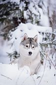 image of husky sled dog breeds  - purebred siberian husky dog in winter portret - JPG