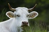 image of charolais  - a Charolais cow is resting in the grass - JPG