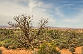 picture of wispy  - Gnarled juniper tree in the desert at Arches National Park with wispy clouds against a blue sky - JPG