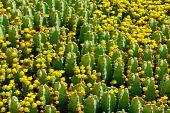 Fragment Of Flowering Cactus Field.