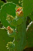 The Thick Cactus Stem Covered With The Buds And Leaves.