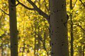 Colorado Yellow Aspen Trees In Fall