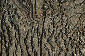 The oak bark texture