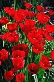 Red Tulips