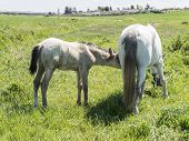 stock photo of mare foal  - Mare with her foal in the field