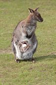 picture of wallabies  - photo of a female wallaby with young joey - JPG