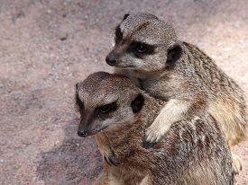 image of meerkats  - Portrait of a couple Meerkats in the sand - JPG