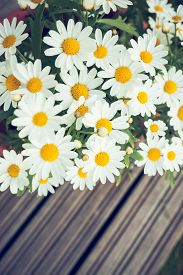 image of pot-bellied  - Daisies in a pot viewed from above at home garden - JPG
