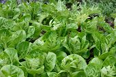 stock photo of gem  - Differen kind of lettuces growing in a rows in a garden - JPG