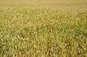 image of homogeneous  - Background created with a close up of a cereal field - JPG