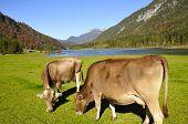 Cows In Tirol