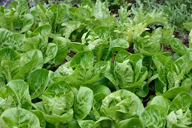 image of endive  - Differen kind of lettuces growing in a rows in a garden - JPG