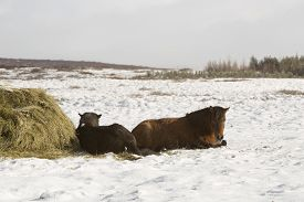 picture of feeding horse  - Hay feeding for a herd of Icelandic horses in winter - JPG