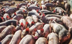 stock photo of pig  - Young curious pigs in open air pig farm  - JPG
