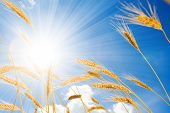 golden wheat in the blue sunny sky background