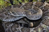 stock photo of western diamondback rattlesnake  - Western Diamondback Rattlesnake  - JPG
