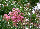 picture of crepe myrtle  - Image of pink crape myrtle tree in full bloom against a bright sky - JPG
