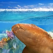 Nurse shark gata nodriza Ginglymostoma cirratum in Caribbean reef