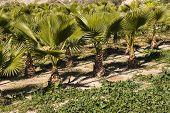 little palm trees