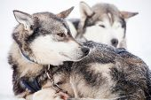 Huskies resting outdoors before sled ride poster