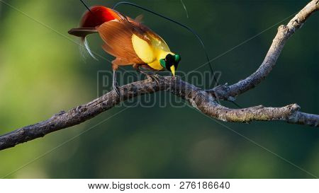 A Male Red Bird Of