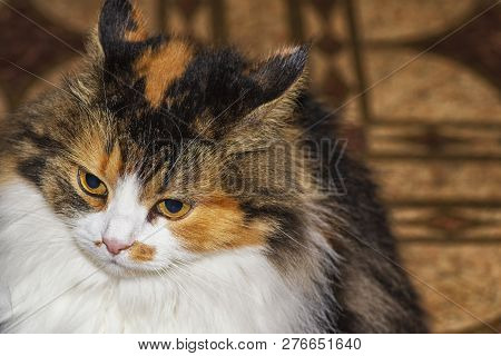 poster of Three-colored Cat With Evil Muzzle Degeneration. The Cat Has Beautiful Yellow Eyes. Evil Multi-color