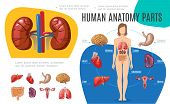 Human Anatomy Infographic Template With Woman Body Brain Stomach Liver Uterus Heart Kidneys Lungs In poster