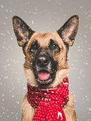 Cute German Shepherd Poses For Camera Winter Fury. Christmas Winter Snow Dog. poster
