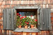 Cute Geranium Window