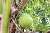 Green Coconut On Coconut Trees Nature poster