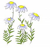 Flowers - camomile