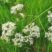 Valeriana on the grass-