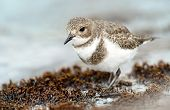 Close Up Of A Two-banded Plover Foraging On A Seaweed Bed On A Coastal Area. poster