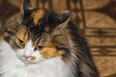 Three-colored Cat With Evil Muzzle Degeneration. The Cat Has Beautiful Yellow Eyes. Evil Multi-color poster