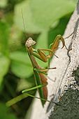 Mantis On A Cinderblock Wall