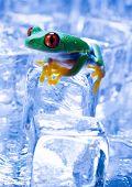 Red eye frog