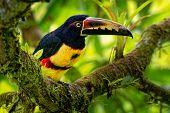 Collared Aracari - Pteroglossus Torquatus Is Toucan, A Near-passerine Bird. It Breeds From Southern  poster