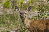 Endangered Key Deer On Big Pine Key In The Florida Keys poster