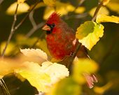 Northern Cardinal In Autumn