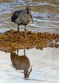 Mirror, Mirror - Hadada Ibis, Tanzania