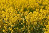Amarelo Primavera