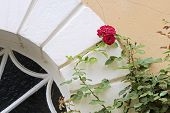 pic of climbing rose  - Climbing roses in the courtyard of Palace of Johannisberg Rheingau Hesse Germany - JPG