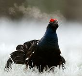 Lekking Black Grouse
