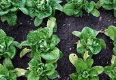 Growing Lettuces