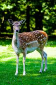 foto of bambi  - Bambi in the green forest staring at you