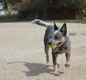 image of blue heeler  - running Blue heeler dog with ball on gravel - JPG