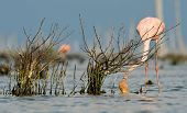 The Pink Caribbean Flamingo Feeding On Water.