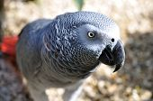foto of polly  - Detailed image of African Grey parrot s head - JPG